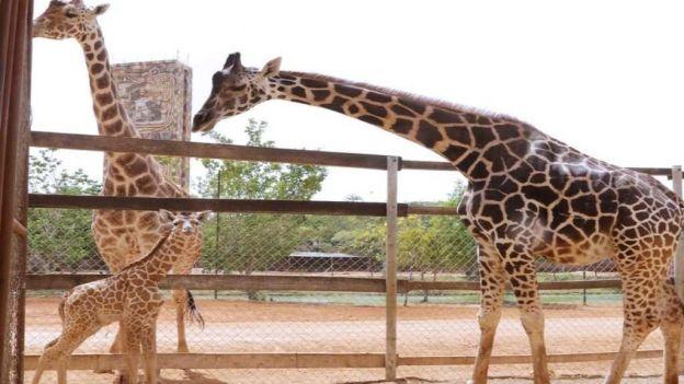 noticias nacionales nace jirafa en mérida