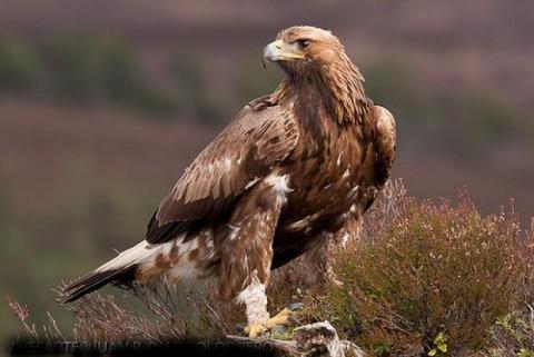 Águila Real en peligro de extinción.