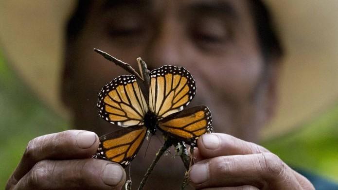 Mariposa monarca- Gregorio Martínez.