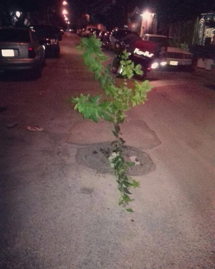 Vecinos plantan árbol en bache- Gregorio Martínez.