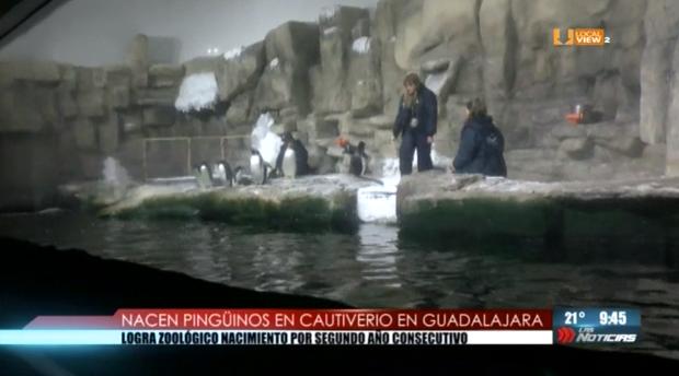 Crece la familia en el zoológico de Guadalajara. Nacen otros dos pingüinos en cautiverio