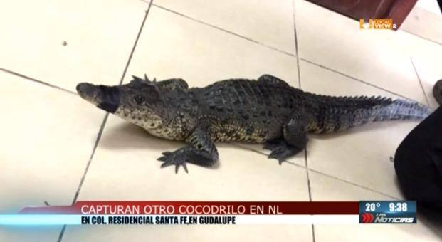 Otro cocodrilo. Ahora fue en Guadalupe