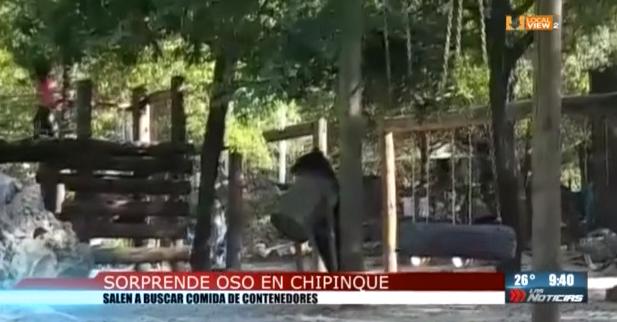 #Video. Un oso llegó a la Meseta de Chipinque