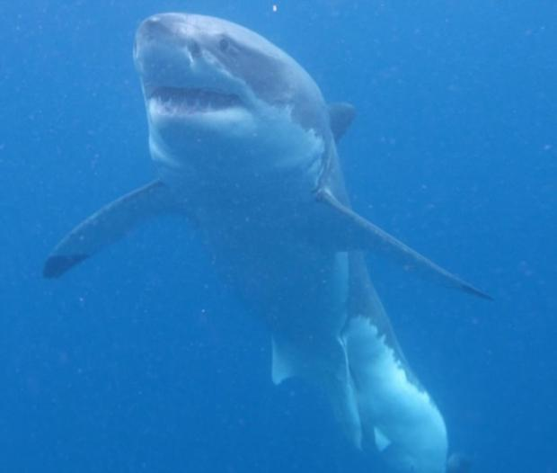 20150630110417_20150630110417_Great-White-Sharks-5-690x585_620x600